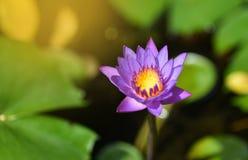 Lotosowego kwiatu purpury Fotografia Stock