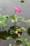 Lotosowego kwiatu staw Fotografia Royalty Free