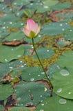 Lotosowego kwiatu staw Zdjęcie Royalty Free