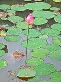 Lotosowego kwiatu staw Obraz Royalty Free