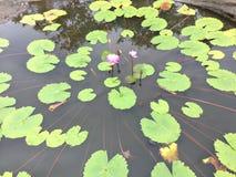 Lotosowego kwiatu staw Obraz Stock
