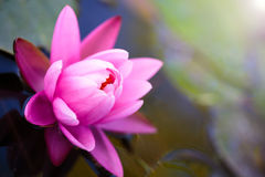 Lotosowego kwiatu tło Zdjęcie Stock