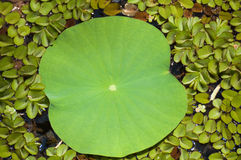 Lotosowy liścia zakończenie up z spławowych paproci tłem Zdjęcia Royalty Free