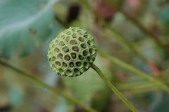 lotosowego stawu materiału siewnego Obrazy Royalty Free