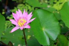 Lotosowego stawu wodna leluja Zdjęcie Royalty Free