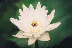 Lotosowej lub Wodnej lelui kwiatu rocznik Zdjęcie Royalty Free