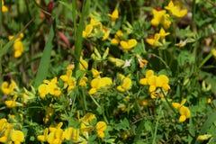 Lotosowi corniculatus kwiaty obrazy stock