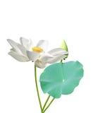Lotosowi kwiaty Fotografia Royalty Free