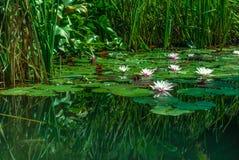 Lotosowi kwiaty Obraz Royalty Free