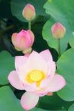 Lotosowi kwiaty zdjęcia royalty free