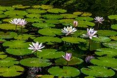 Lotosowi kwiaty Zdjęcie Stock
