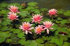 Lotosowi kwiaty Obrazy Royalty Free