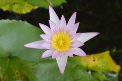 Lotosowi kwiaty Zdjęcie Royalty Free