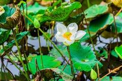 Lotosowi kwiaty obrazy stock