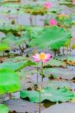 Lotosowi kwiaty Obraz Stock