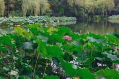 Lotosowi kwiaty i liście nad wodą przy Zachodnim jeziorem w Hangzhou, Chiny zdjęcie stock