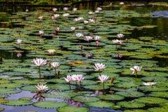 Lotosowi kwiaty i waterlily Zdjęcia Stock