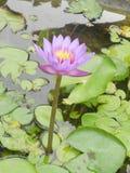 Lotosowi kwiaty na Bali muzeum zdjęcia stock