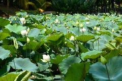 Lotosowi kwiaty Perdana ogród botaniczny kuala Lumpur Malezja fotografia stock