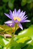Lotosowi kwiaty purpurowi Zdjęcia Stock