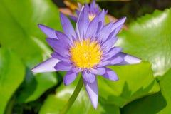 Lotosowi kwiaty purpurowi Fotografia Royalty Free
