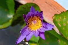 Lotosowi kwiaty purpurowi Obraz Royalty Free