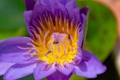 Lotosowi kwiaty purpurowi Obrazy Royalty Free