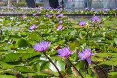 Lotosowi kwiaty w w centrum Singapur zdjęcia royalty free