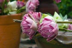 Lotosowi kwiaty w zbiorniku dla ono modli się i cześć Fotografia Stock