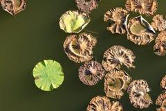 Lotosowi liście Obrazy Stock