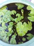 Lotosowi liście Zdjęcia Stock