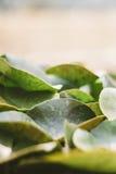 Lotosowi liście Fotografia Stock