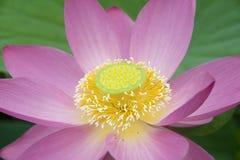 Lotosowi okwitnięcia Fotografia Royalty Free