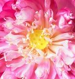 Lotosowi płatki, strąki Lotus Obrazy Royalty Free