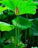 Lotosowi pączki Zdjęcie Stock