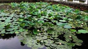 Lotosowi stawy są zieleni w lecie zdjęcia royalty free