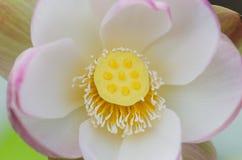 Lotosowy świeży kwiat Obraz Royalty Free