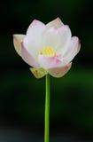 Lotosowy świeży kwiat Zdjęcie Royalty Free