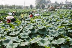 Lotosowy agritainment w Chengdu, porcelana Obrazy Stock