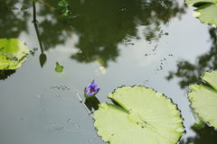 Lotosowy błękit Zdjęcia Stock