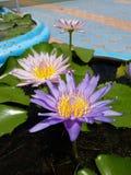lotosowy bliźniak Zdjęcie Royalty Free