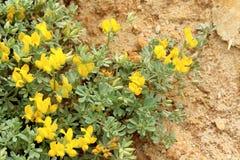 Lotosowy creticus, genus legume miejscowy słone piasek diuny Zdjęcia Stock