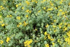 Lotosowy creticus, genus legume miejscowy słone piasek diuny Obrazy Royalty Free