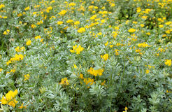 Lotosowy creticus, genus legume miejscowy słone piasek diuny Obrazy Stock