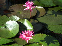 Lotosowy Freshy styl w ranku Tajlandia Fotografia Royalty Free