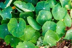 Lotosowy kępy zieleni liść obraz stock