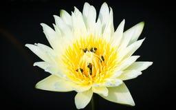 Lotosowy kolor żółty Zdjęcia Royalty Free