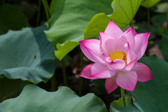 Lotosowy kwiat Zdjęcia Stock