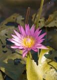 Lotosowy kwiat Obrazy Stock
