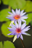Lotosowy kwiat Fotografia Royalty Free